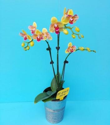Орхидея не цветущая W 2651 PF5007-1 размер 1.7